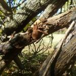 Large Brown Spider Geocache