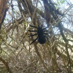 Large Black Spider Cache Container